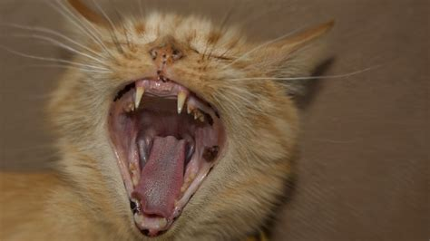 cat screaming sound effect cat meowing  stop loud