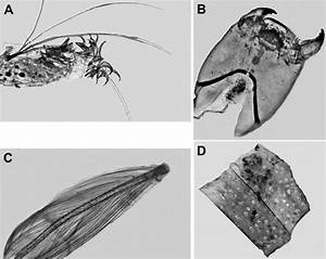 Chironomidae Larvae And Adults  A  U2013 Body Fragments Of