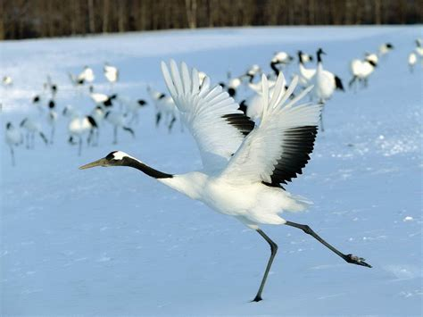 Crane Bird Facts And Images-photos