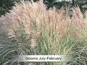 Miscanthus Sinensis Variegatus : miscanthus sinensis variegatus maiden grass youtube ~ Eleganceandgraceweddings.com Haus und Dekorationen