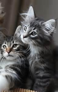 forest cat kittens forest cat titran s gabrielle d estr 233 e