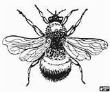 Insecten Colorir Owad Insetos Inseto Desenhos Hommel Owady Um Insects Insectos Trzmiel Een Bromvlieg Zangao Coloring Kleurplaten Kolorowanka Robuust Harige sketch template