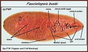 F. buski adult.