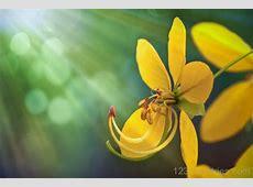 National Flower Of Thailand Ratchaphruek 123Countriescom