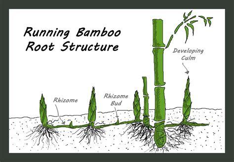 how to grow bamboo growing bamboo jesse garden