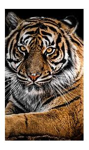 Tiger 4K Wallpapers | HD Wallpapers | ID #27974