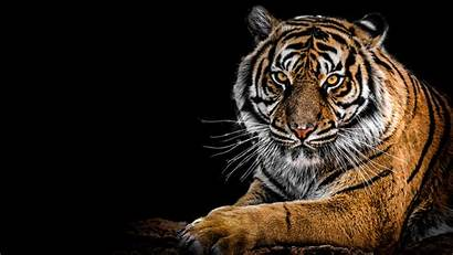 Tiger 4k Wallpapers Tigers Animals