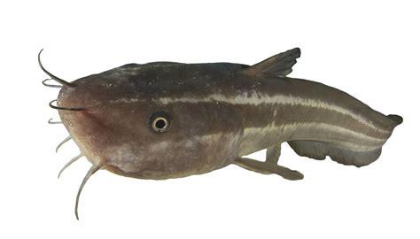 catfish eat  answer  amaze