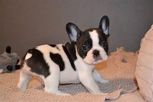 Hundebekleidung Französische Bulldogge : franz sische bulldogge welpen hunde kleinanzeigen oescheb ttel ~ Frokenaadalensverden.com Haus und Dekorationen