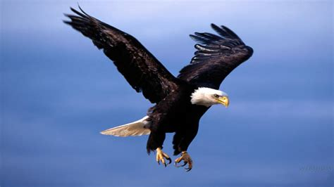 Eagle In Flight Wallpaper Flying Eagle Wallpapers Wallpaper Cave