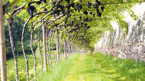 Garten Abstand by Kulturpflanze Wie Der Wein Zum Dach Im Garten Wird Noen At