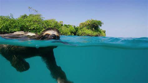 single swimming sloth   love planet earth ii