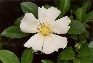 Florida Nature: Rosa laevigata - Cherokee Rose