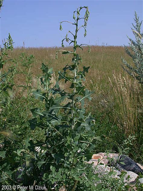 lactuca serriola prickly lettuce minnesota wildflowers