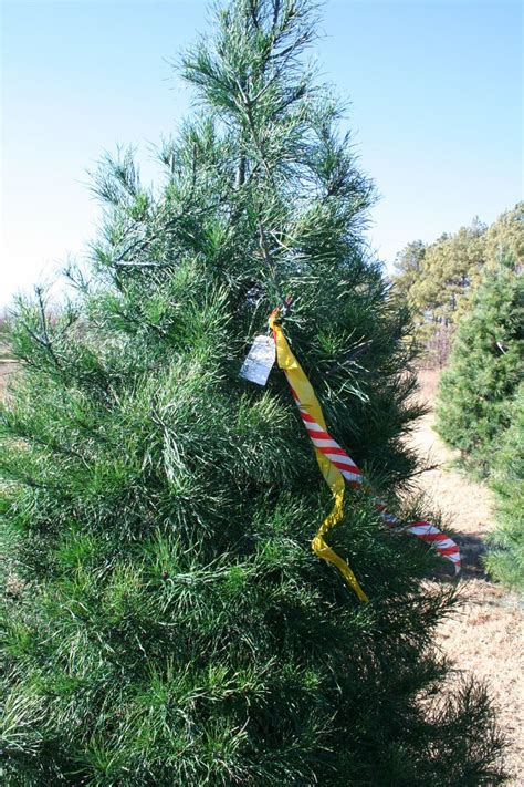 best christmas tree farm ri 42 best images about specialty crops products oklahoma agritourism on