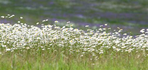 Puķes pļavas