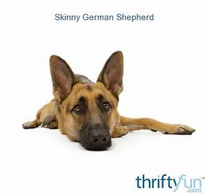 Skinny German Shepherd - ThriftyFun Pancreatic Insufficiency