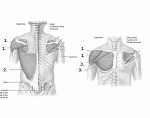 Back And Chest Muscle Diagram