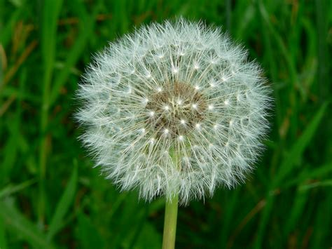 Flower You Blow Listful Thinking 4 Great Ways To Put Annoying Dandelions