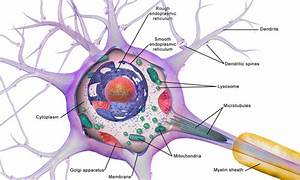 Diagram Of Nerve Cell Organelles