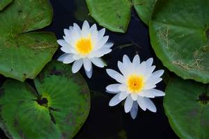 Top 8 Aquatic Plants Which Floats On Water - ALLRefer
