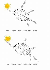 Photosynthesis Leaf Diagram By Eswyny