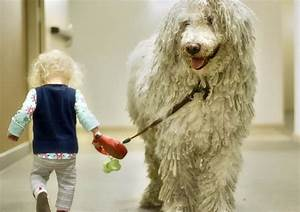 everything about your komondor my dogs