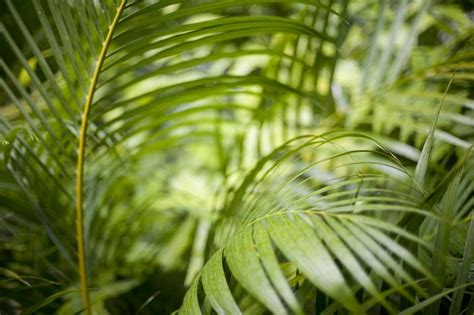 image  greens fronds   cane palm freebiephotography