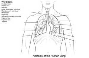 ausmalbild arbeitsblatt die menschliche lunge