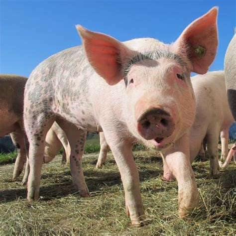 cute pig pictures pexels  stock