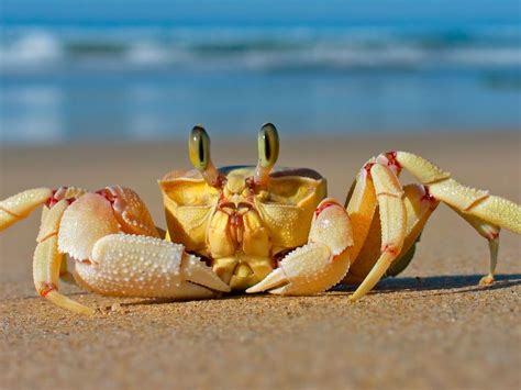 crab beach sand sea animals wallpaper hd