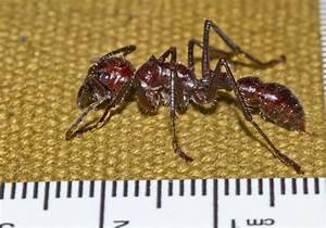 "The worst pain known to humans: the ""bullet ant"" gloves of ..."