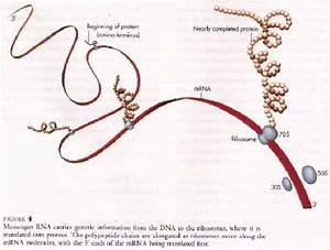 Translation Of Mrna To Protein