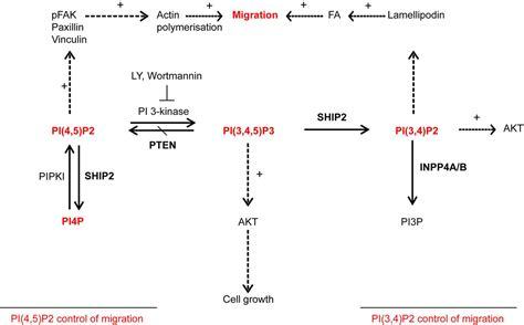Ship2 Controls Plasma Membrane Pi(4,5)p2 Thereby