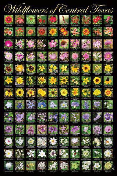 wild poster wildflowers  central texas backyard