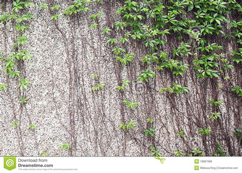 Climbing Plants On Wall Royalty Free Stock Photos Image
