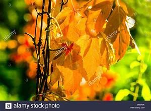 Laubbaum Mit Roten Blättern : laubbaum stockfotos laubbaum bilder alamy ~ Frokenaadalensverden.com Haus und Dekorationen