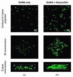 Confocal Images Of Adipose