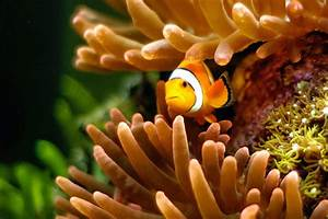 clown fish wallpapers - DriverLayer Search Engine