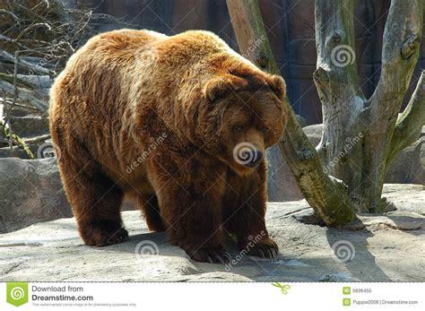 Brown Bear Royalty Free Stock Photo  Image 5696455