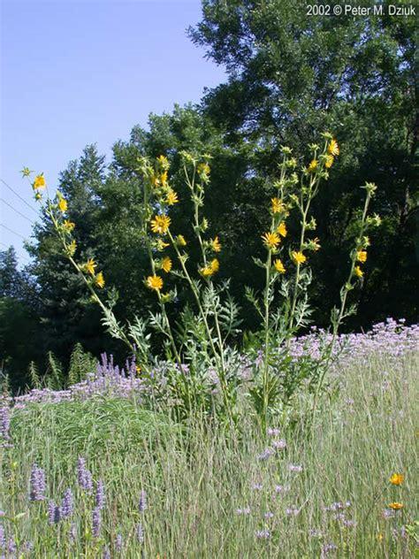 silphium laciniatum compass plant minnesota wildflowers