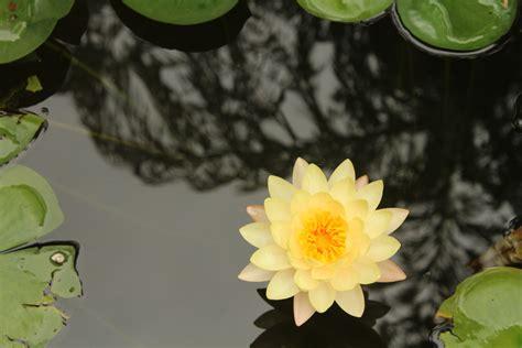 lotus Flowers, Orange Flowers, Yellow Flowers, Nature ...