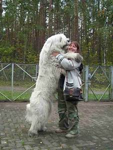 12 best images about Gigantic Russian Bear Dog on ...