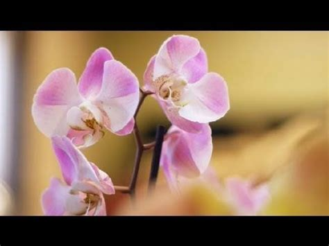 do orchids regrow flowers orchid home care orchid care youtube gardening pinterest home the o jays and plant care