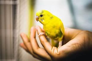 Bird Identification: Common Yellow Parrots