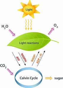 Photosynthesis  U2013 C3 Vs  C4  And Cam