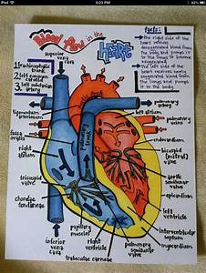 78  Images About Conduction System Of The Heart On