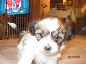 Bichon Shih Tzu Puppies for Sale