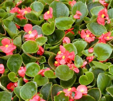 begonias care how to growing annuals and perennials best conditions for growing begonias outdoors