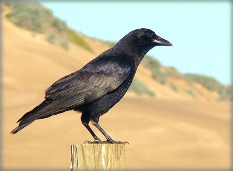 How to Control Nuisance Crows? | California Outdoors Q and A
